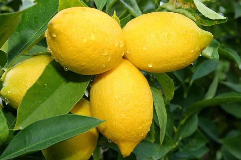 Arbol frutal limonero